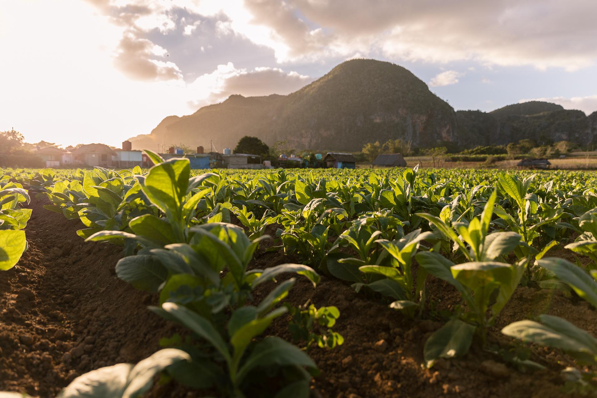 Tabakplantage im Vinales Valles in Kuba