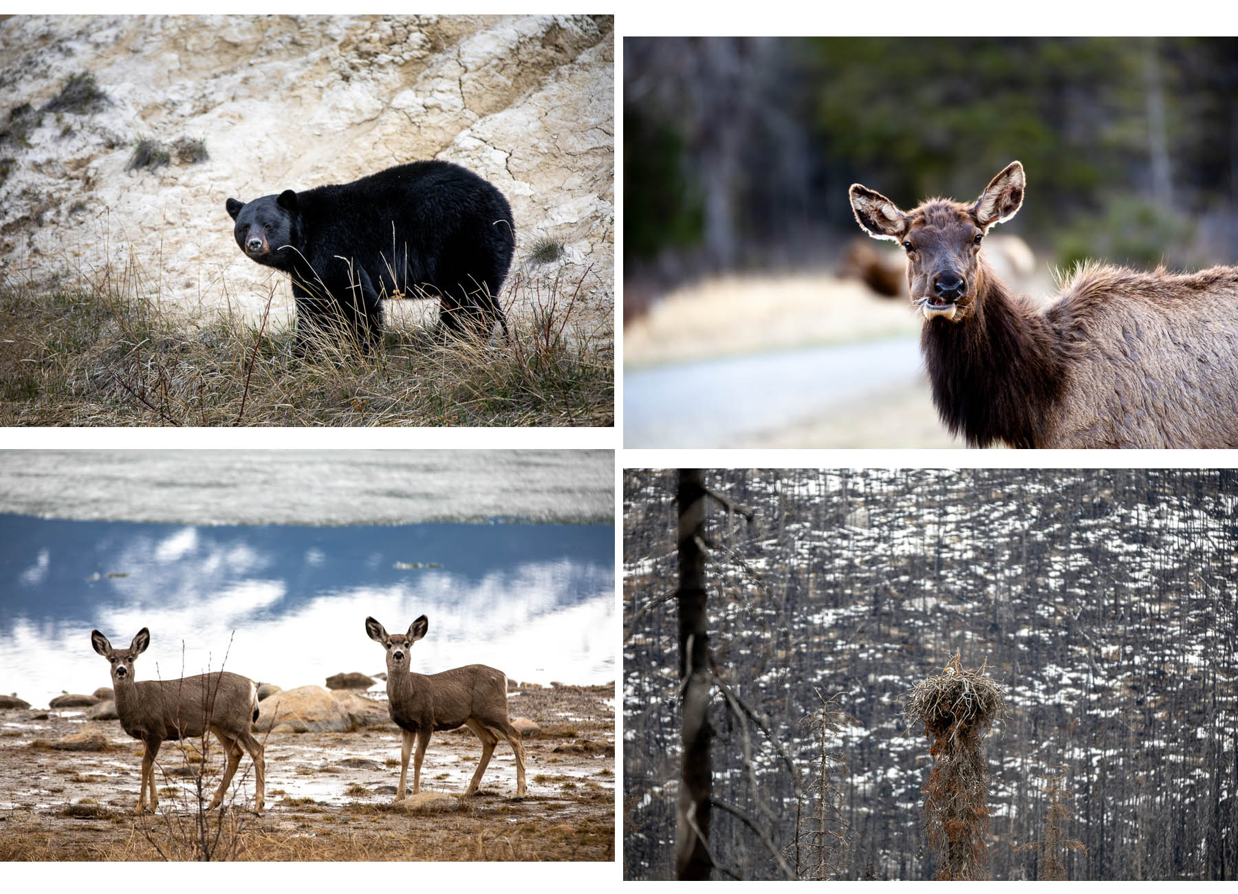 Bild: Wildnis Tierarten Tierbeobachtungen Jasper Nationalpark Kanada Rocky Mountains