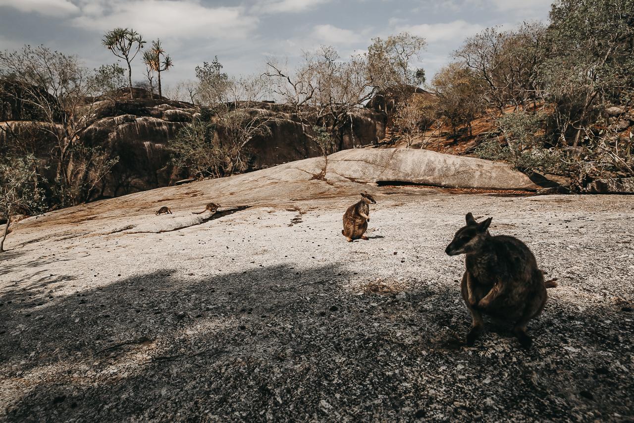 Bild: Geheimtipp Ostküste Australien Roadtrip Queensland Wallabies Kängurus Mareeba