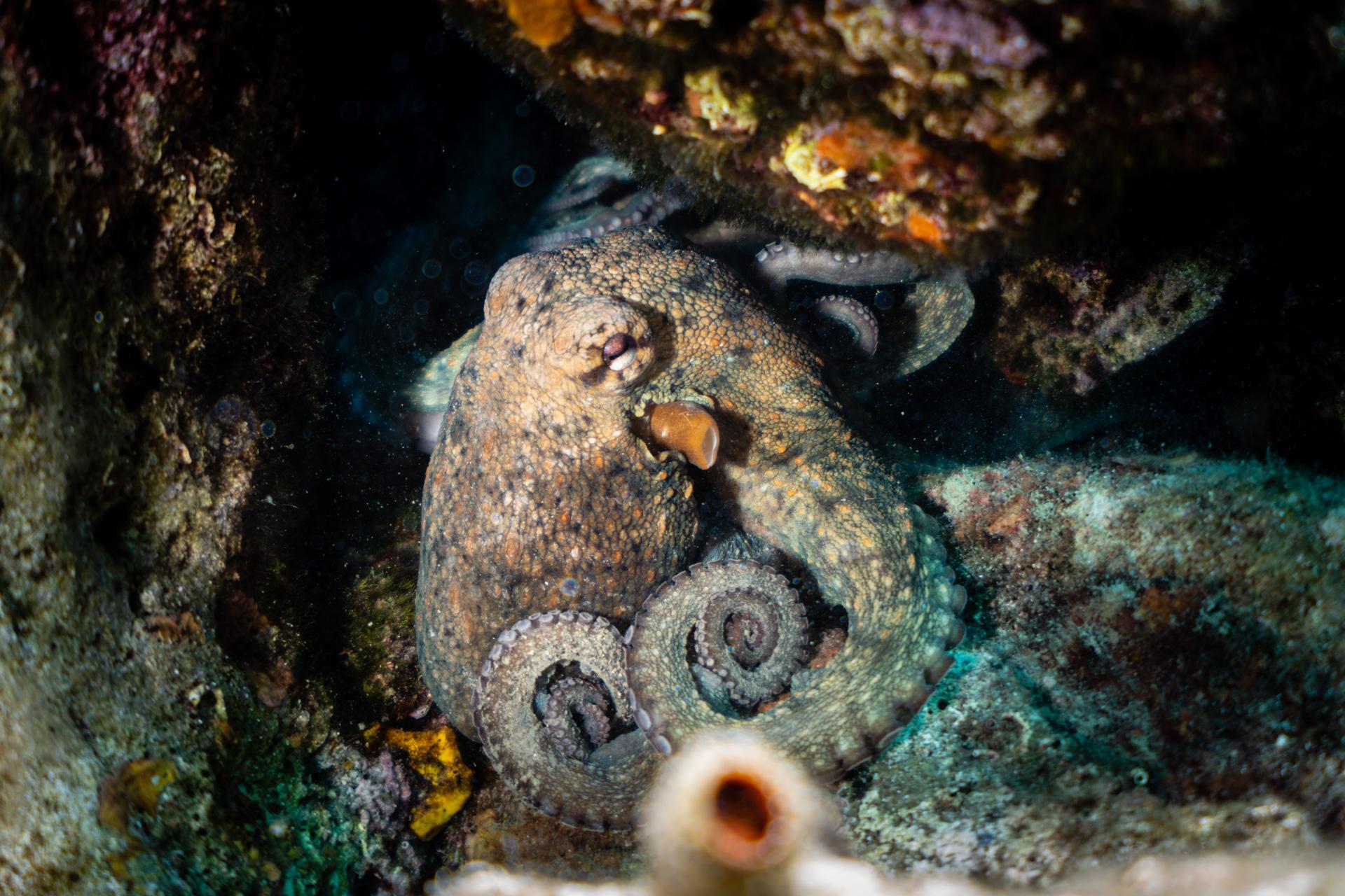 Oktopus beim Tauchen auf Rab in Kroatien